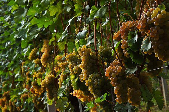 Antica cascina dei conti di roero vineyard grapes in Italy