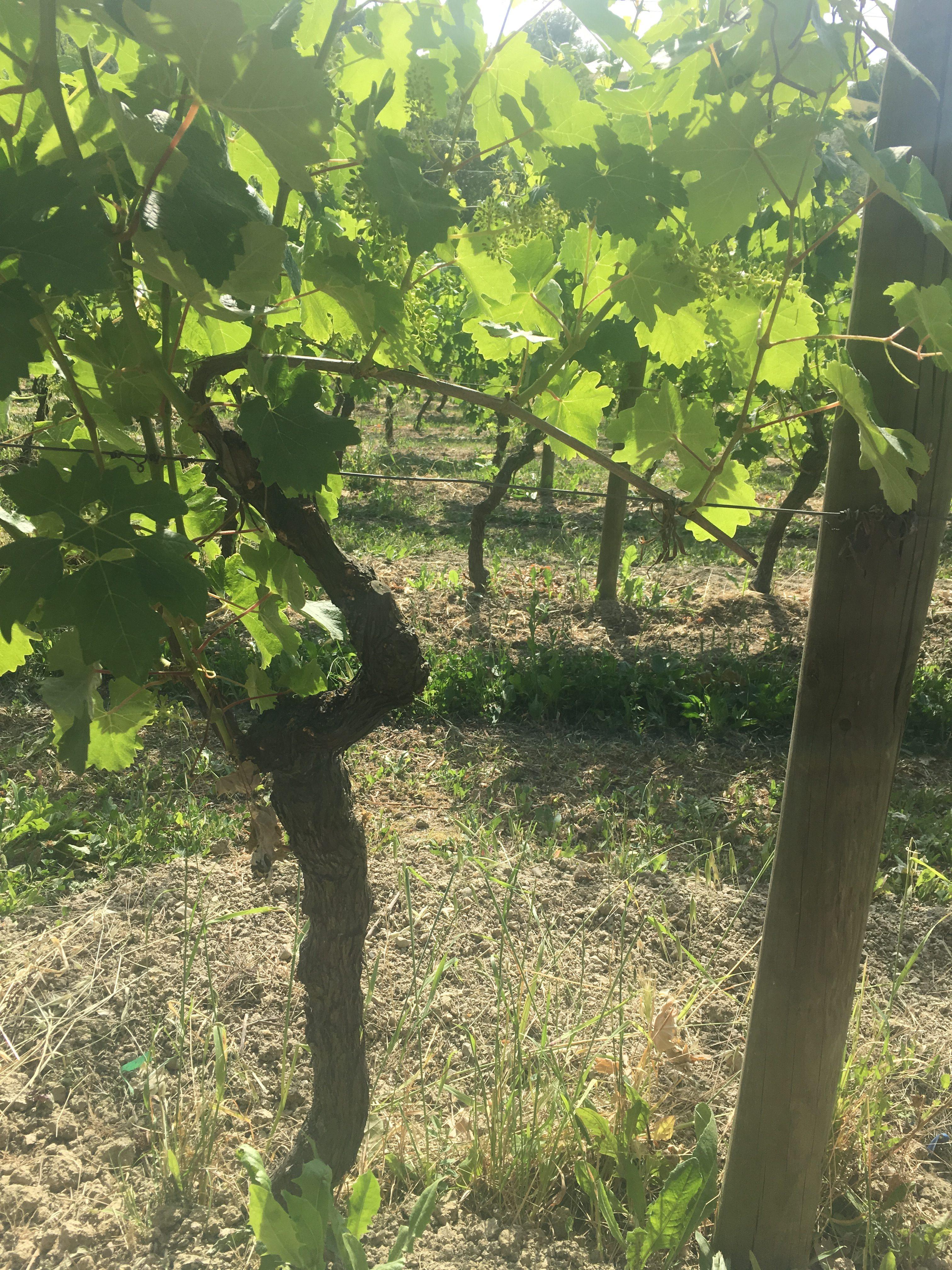Ricci colli tortonesi grapes natural orgnic wine