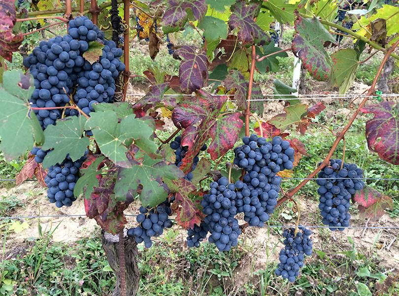 Camparo Grapes natural organic wine australia