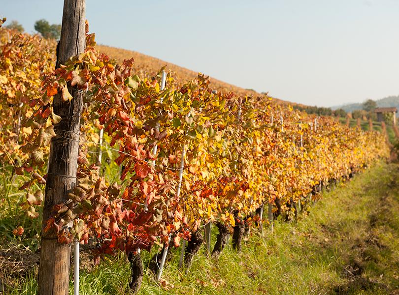 Camparo organich method wine vineyard