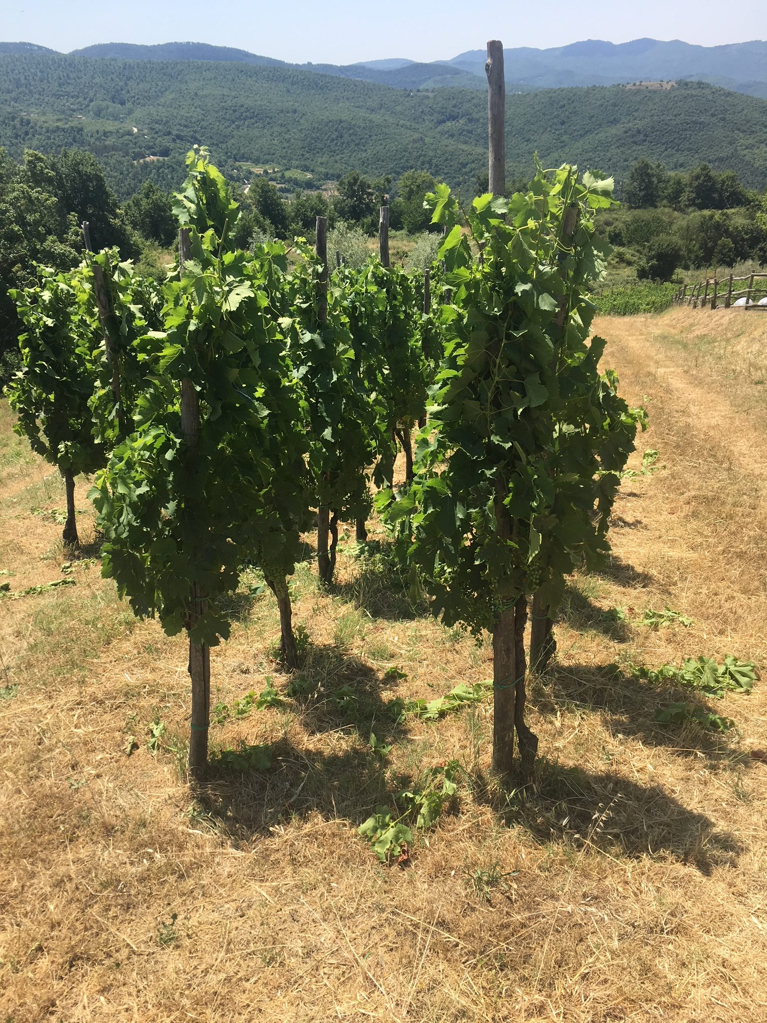 Pomaio grapes and natural wine Italy