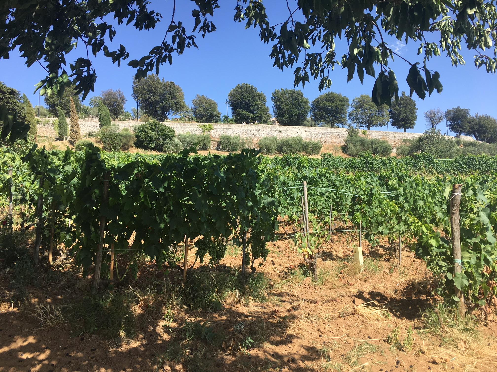 Tiezzi estate wine Sangiovese (Brunello di Montalcino)